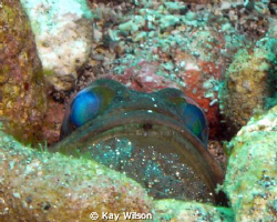 Lined jaw fish with eggs - just about to hatch. by Kay Wilson